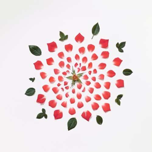 red-rose-exploded