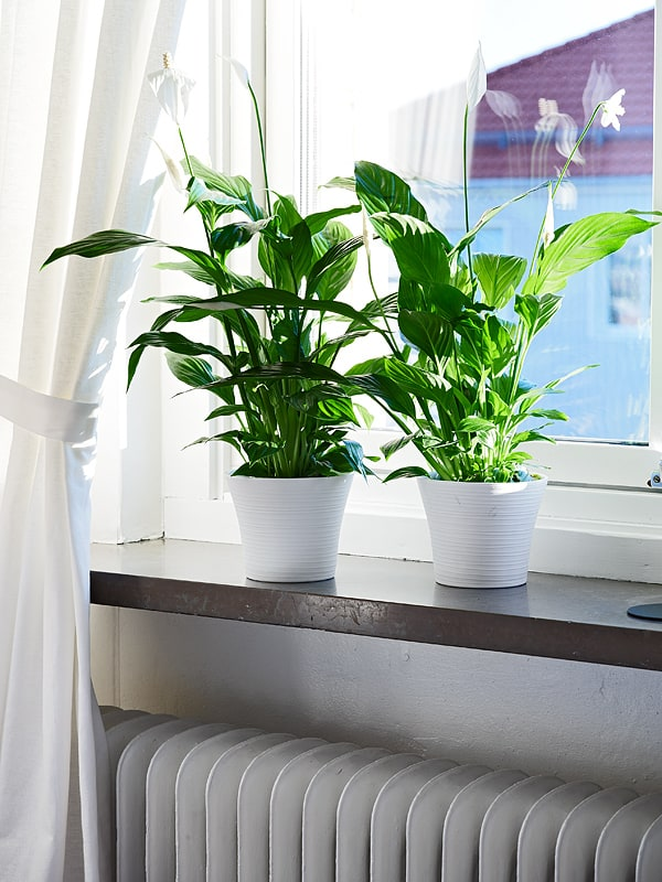 10 fuss free house plants that clean the air hello glow for Peace lily in bathroom
