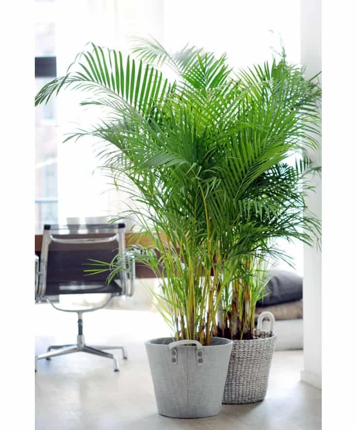 Areca Palm | 10 Fuss Free House Plants That Clean the Air