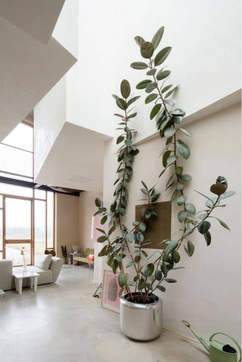 Rubber Plant | 10 Fuss Free House Plants That Clean the Air