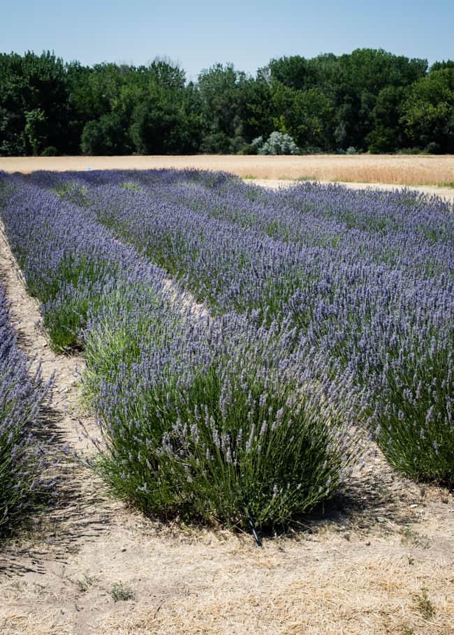 Cara mengeringkan lavender | Hello Glow