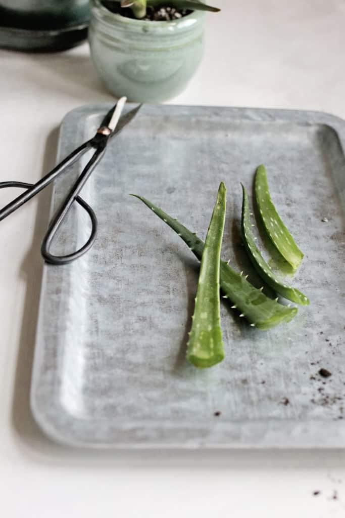 How to Harvest Aloe Vera