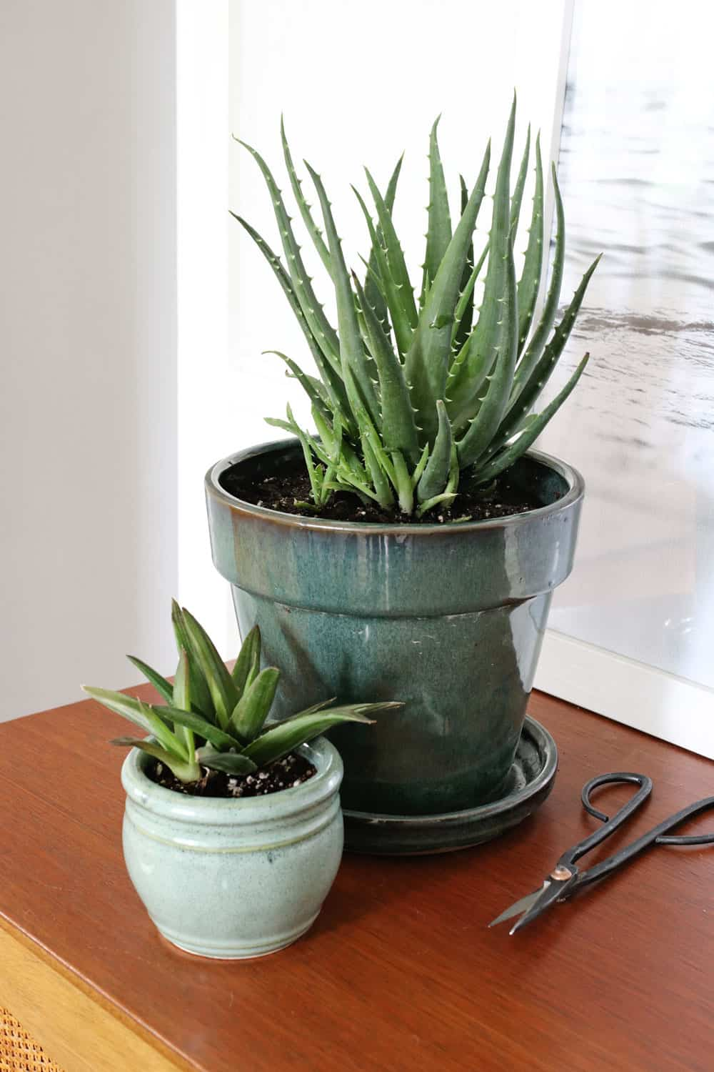 How to Harvest + Use Aloe Vera Plants